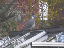 wood pidgeon