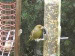 greenfinch 1