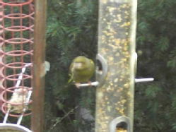 greenfinch 2