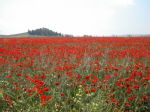 poppyfield in thrace