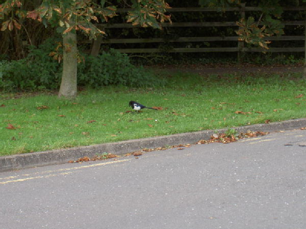 I'm told this is a Magpie