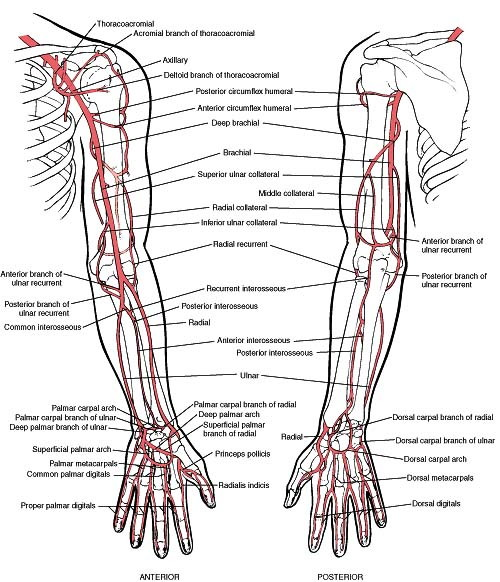 Upper Limb | Anatomy | Mbbs 1st year