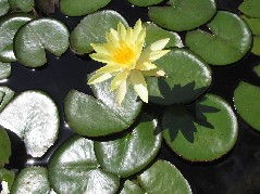 y water lily