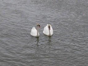 _swans