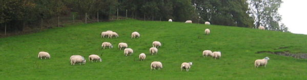 sheep with blue rinses