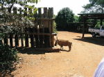 wart hog at the elephant orphanage