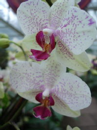 Kew Orchid