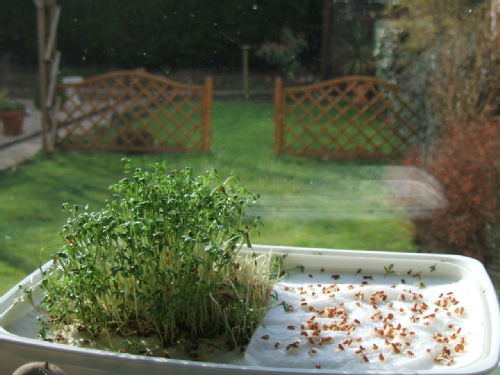 Successional sowing of cress, grown in the lid of a tupperware box