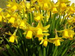 Daffodils already..