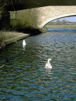 Swans by the Bridges at boathouse