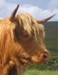 Close up of Highland Cow