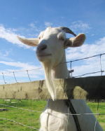 Over-friendly goat