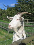 Over-friendly goat 2