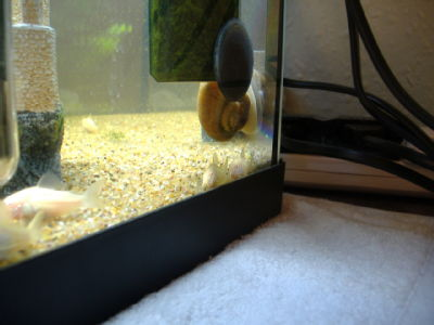 Corys and snail