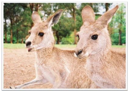 Kangaroos in a wildlife park near Brisbane