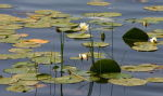 Waterlilies 4