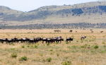 Serengeti Herd