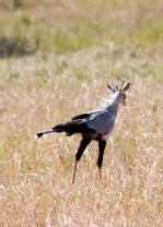 Serengeti Secretary Bird