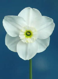 Narcissus Ice Emerald