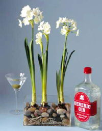 Gin and Paperwhites