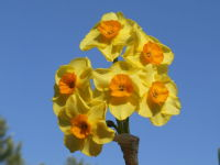Narcissus Scilly Valentine