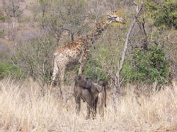 Giraffe and baboons