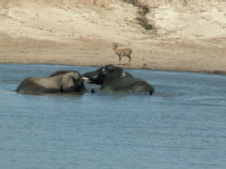 Elephants in the watering hole