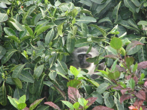 Vervet Monkey in the back garden