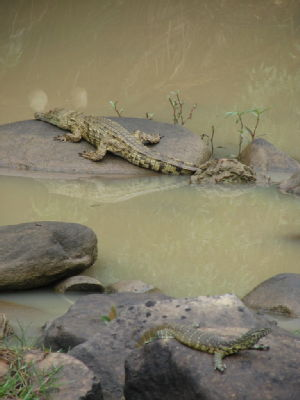 Croc and water monitor