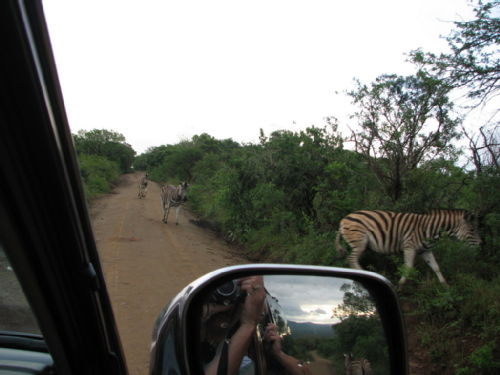 Zebra running down the road