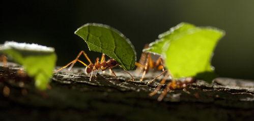 Image. Leaf-cutter ants