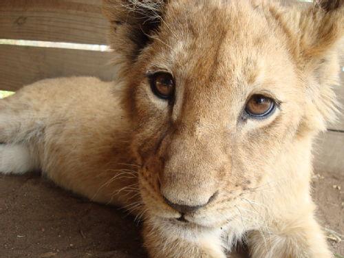 A very cute lion cub