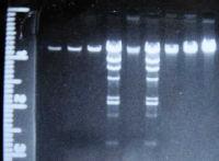 gDNA JB137-S8