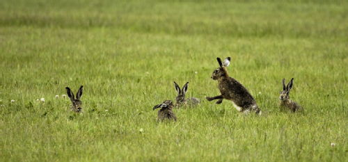 Not so tame hares