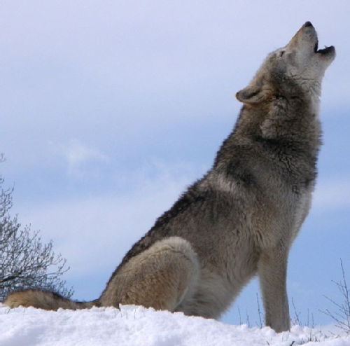 Wolf by Thomas Roche at Flickr