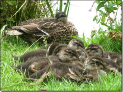 10 - Raft of Ducklings