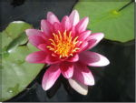 08 - Water Lily