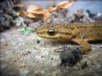 15 - Smooth Newt