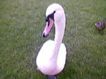 Mable the Swan