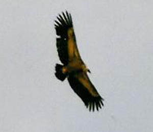 Vulture in exremadura