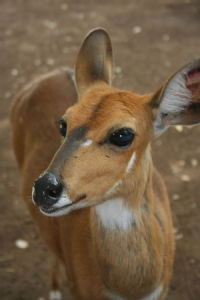 Bushbuck close up