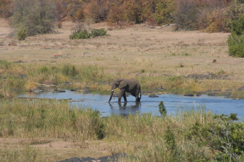 Elephant in the Letaba River