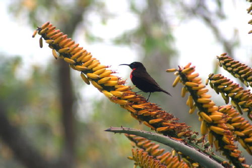 Red chested sunbird