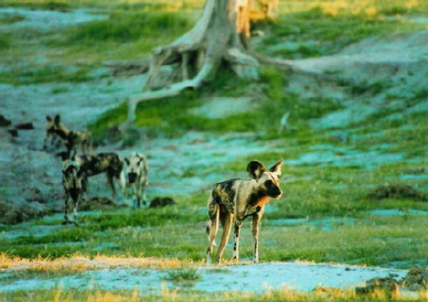 Wild Dogs preparing to hunt