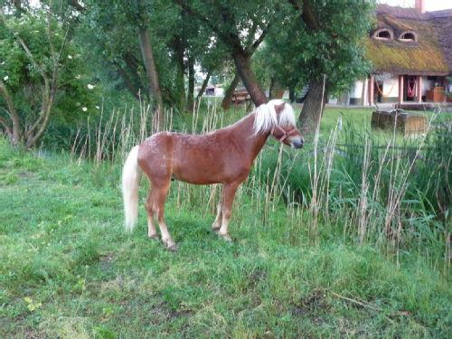 Hungarian pony