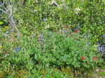 06 Wild flowers of the Alpine Meadows