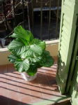 My New Room 5 - Calathea Orbifolia