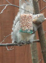 Squirrel stealing nuts