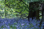 Tocil bluebells