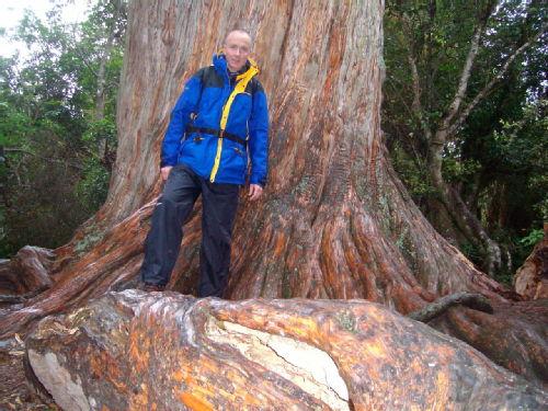 Totare Tree